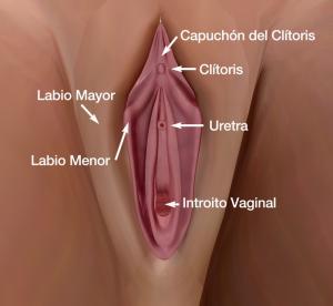 Esquema genital externo femenino. Dr. Juan Monreal
